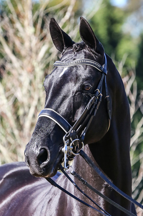 Don Dancier (imp) owned by Narbethong EP